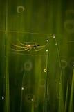 Spindel i irländarefält Arkivbilder