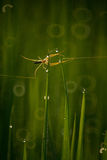 Spindel i irländarefält Royaltyfri Bild