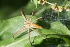 Spindel i natur marco Arkivbilder