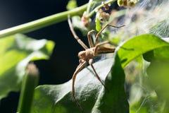 Spindel i natur marco Arkivfoton