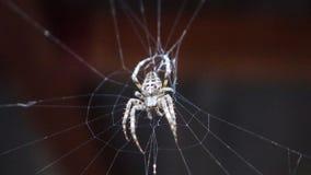Spindel i rengöringsduk Fotografering för Bildbyråer