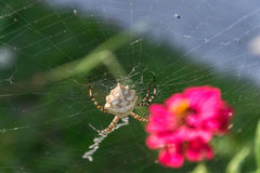 Spindel i rengöringsduk Royaltyfri Bild