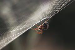 Spindel i rengöringsduken Arkivbilder