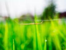 Spindel i risfält Royaltyfri Bild