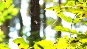 Spindel i skog stock video