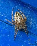 Spindel med en modell i form av ett kors på hans baksida & x28; spindel Araneus& x29; Arkivbild