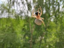 Spindel med ett offer royaltyfri bild
