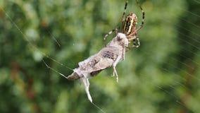 Spindel med gräshopparovet stock video