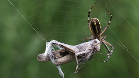 Spindel med gräshopparovet arkivfilmer