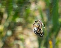 Spindel med rovet royaltyfria foton