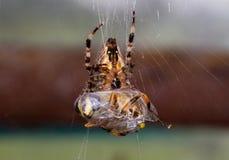 Spindel med rovet arkivbilder