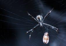 Spindel med rovet fotografering för bildbyråer