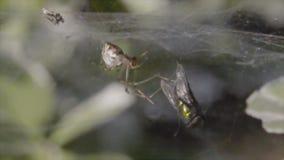 Spindel med rovflugan stock video
