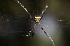 Spindel med spiderweb Royaltyfria Bilder