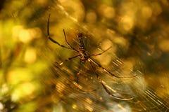Spindel med suddig bakgrund Royaltyfri Fotografi