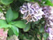 Spindel och cobweb Royaltyfria Bilder