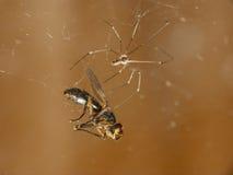 Spindel och dess rov royaltyfria bilder
