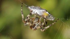 Spindel och dess rov Royaltyfri Fotografi