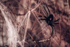 spindel och en spindelrengöringsduk bakgrund halloween Fotografering för Bildbyråer