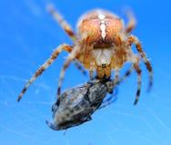 Spindel och fluga Arkivbilder