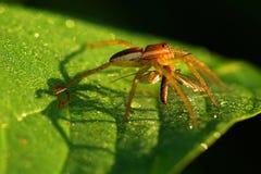 Spindel och fluga, Royaltyfria Bilder