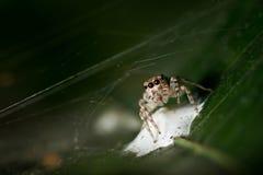 Spindel och hennes äggfall Arkivbild