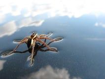 Spindel och vatten Fotografering för Bildbyråer