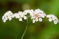 Spindel på blommor Royaltyfri Foto