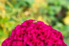 Spindel på Celosiaargentea i trädgård arkivfoto