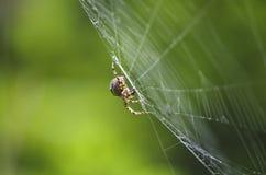 Spindel på dess rov royaltyfri fotografi