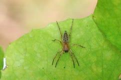 Spindel på det gröna bladet Royaltyfri Bild
