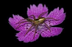 Spindel på en blomma Arkivfoton