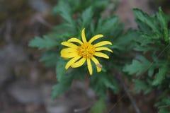 Spindel på en gul blomma Royaltyfria Foton