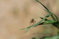 Spindel på en leaf Arkivfoto