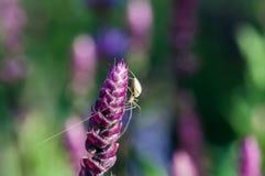 Spindel på en salviaväxt royaltyfri fotografi