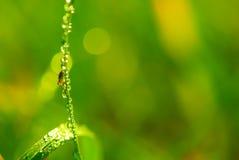 Spindel på grässtrået royaltyfri fotografi