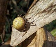 Spindel på havrelistan Royaltyfri Bild