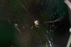 Spindel på netto Arkivbild