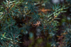 Spindel på netto Arkivbilder