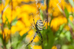 Spindel på rengöringsduken Arkivbilder