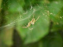 Spindel på rengöringsdukmakro med grön bakgrund royaltyfri fotografi