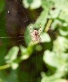 Spindel på rengöringsdukspindel på rengöringsduk utanför europeisk trädgårds- spindel eller C Royaltyfri Bild