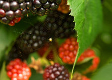 Spindel på spiderweb Fotografering för Bildbyråer