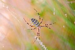 Spindel på spiderweben royaltyfri bild
