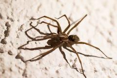 Spindel på väggen 2 Royaltyfria Bilder