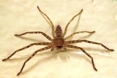Spindel på väggen Arkivfoto