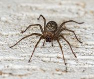 Spindel på vägglaten Tegenaria domestica royaltyfri foto
