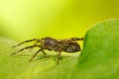 Spindel på den gröna leafen Royaltyfri Bild