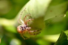 Spindel på en leaf Royaltyfri Bild