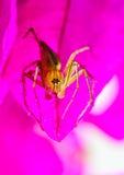 spindel på kronbladet Royaltyfri Fotografi